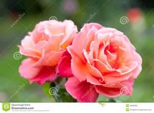 Plants For Formal Gardens - rose bush hybrid tea rose troika stock photo image 49582992