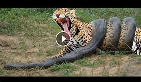 Tiger Vs Jaguar Fight Animal Clip168 Python Vs Tiger