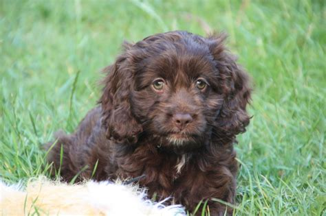 cockapoo puppies for sale in f1 cockapoo puppies for sale march cambridgeshire pets4homes