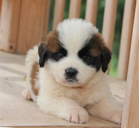 st bernard puppies mn adorable intelligent st bernard puppies craigspets