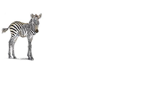 Home Decorating Ideas On A Budget Pictures baby zebra png