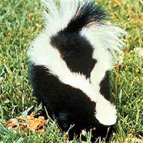 how to get rid of skunks in your backyard how to get rid of skunks how to get rid of stuff