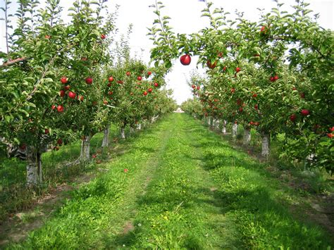 apple orchard magnon s meanderings apple growing in england