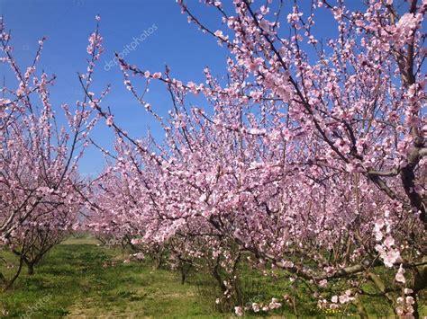 immagini fiori di pesco alberi di pesco in fiore in primavera foto stock