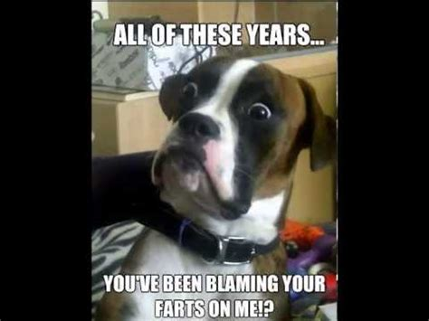 funny boxer dog meme