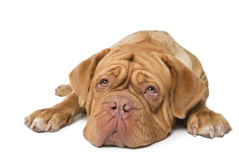 thyroid disease in dogs thyroid disease in canines dogslife breeds magazine