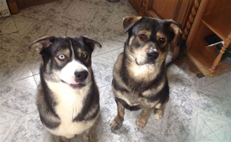 rottweiler and husky rottweiler husky mix five things you didn t