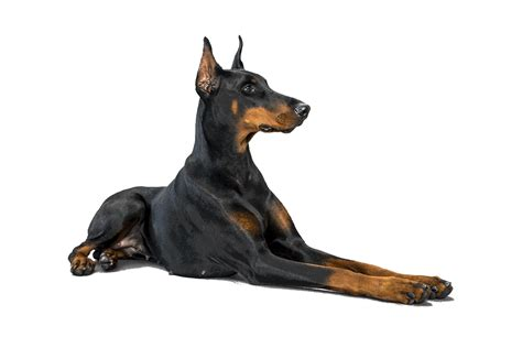 doberman pinscher doberman pinscher breed of the week