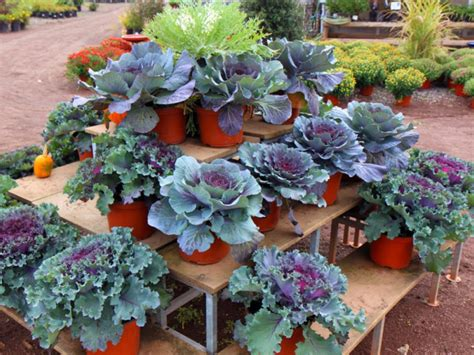 fall plants for garden plant kale mums for fall garden colors patch