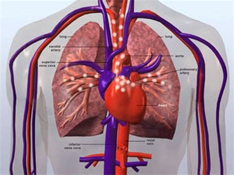 circulatory system gcse additional biology revision youtube