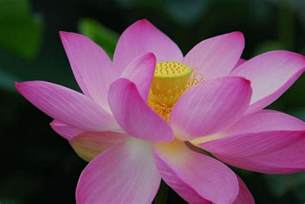 Lotus Pretty Picture Of Pretty Flower Lotus Jpg Hi Res 720p Hd
