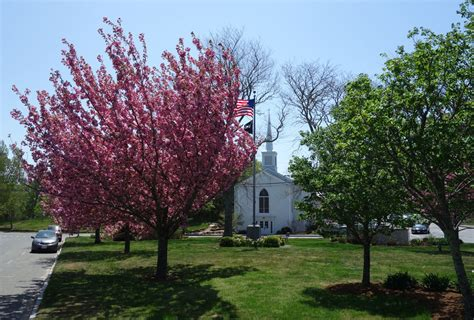 1 cherry tree groveland ma those blooming trees