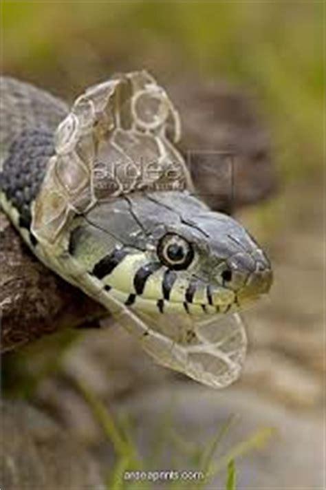Reptile Shedding by Carola Marashi M A Author Intuitive Guide Intimacy