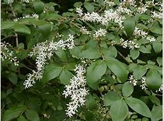 Chinese Privet (Ligustrum sinense) Glossy Privet Tree