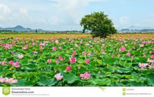 Viet Lotus Travel Travel Mekong Delta Lotus Pond Stock Photo