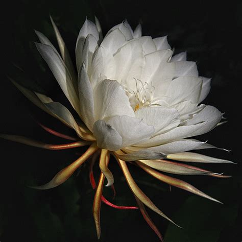 fiore di notte la della notte orestepi
