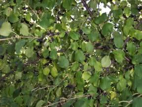 elderberry tree pictures