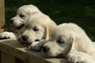 golden retriever puppies in ontario golden retriever puppies ontario breeders dogs in our photo