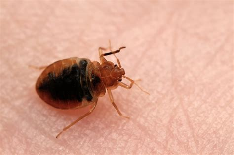 pic of bed bug bakersfield observed