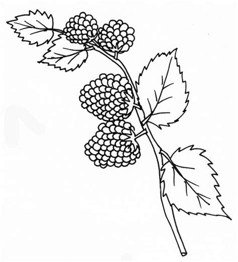 Coloriage De Framboises Sur La Branche T 234 Te 224 Modeler Coloriage Dessiner Fruit Kiwi L