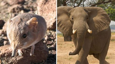 Mouse Elephant image gallery elephant mouse