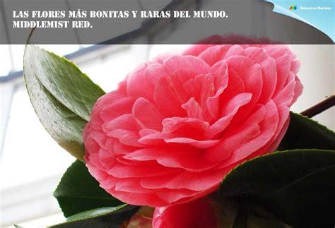 imagenes de rosas tricolor fotos de flores bonitas del mundo convolvulus tricolor