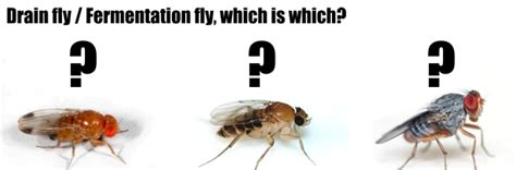 Fruit Flies Vs Gnats Drain Flies Garrards