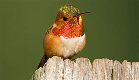 hummingbird facts hummingbird family species locations