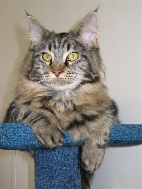 maine coon kittens bay area itchykoo kittens