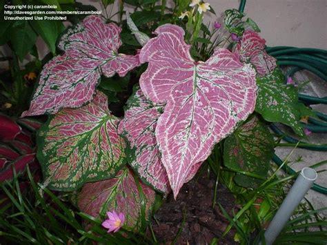 plantfiles pictures fancy leafed caladium angel wings heart of jesus thai beauty caladium