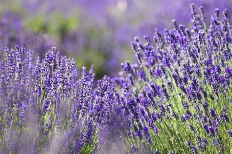 hardy lavender plants grow herbs and flowers in strongest scented lavenders