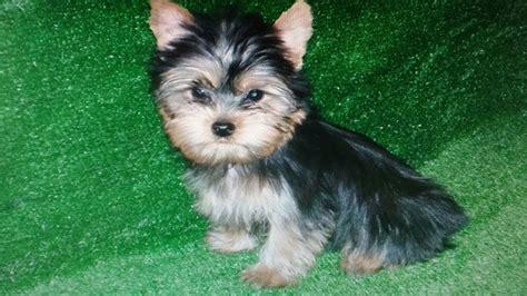 perros yorkie en venta pin cachorro imagen fondo on