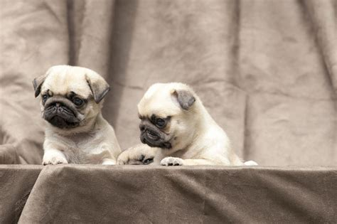 when do pug puppies open their the real information about teacup pugs you can t afford to miss