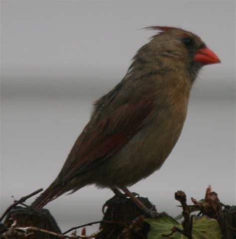 northern cardinal cardinalis cardinalis traderscreek com