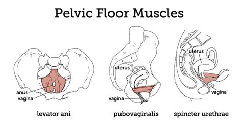 Pelvic Floor Muscles by Nz Relief During Childbirth