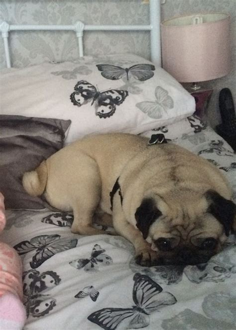pugs for rehoming uk pug for rehoming wallsend tyne and wear pets4homes