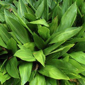 dracaena marginata grower direct