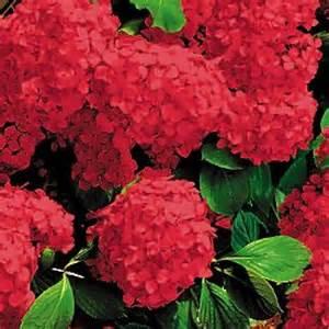 Climbing Hydrangea Planting - hydrangea masja red
