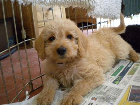 mini doodle te koop honden foto labradoodle pups kennemer doodles