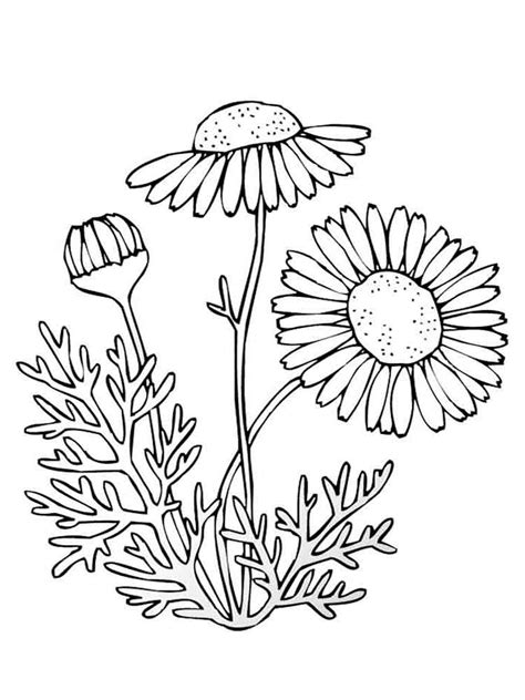 chamomile flower coloring pages   print