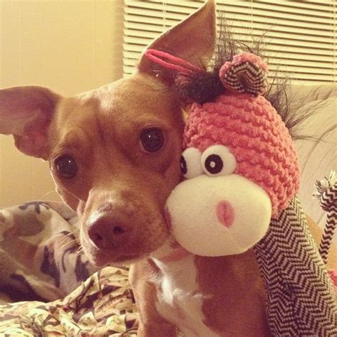 chipit puppies for sale 31 best images about chipit on chihuahuas adoption and american pit