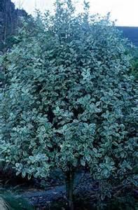 pittosporum garnettii v agm dense bushy medium sized