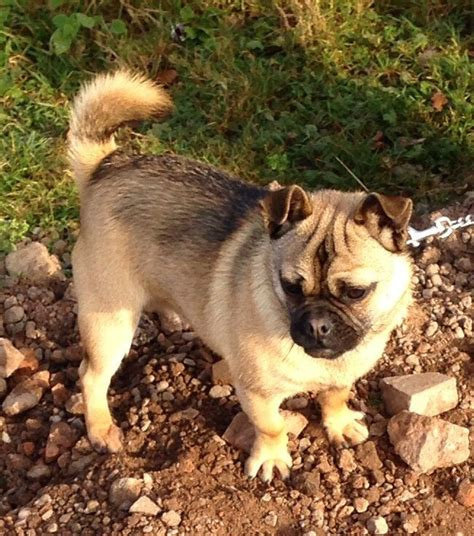 husky and pug mix pug husky mix www imgkid the image kid has it