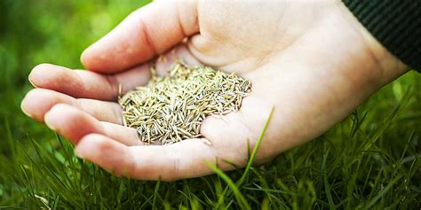 couch grass seeds for sale seed