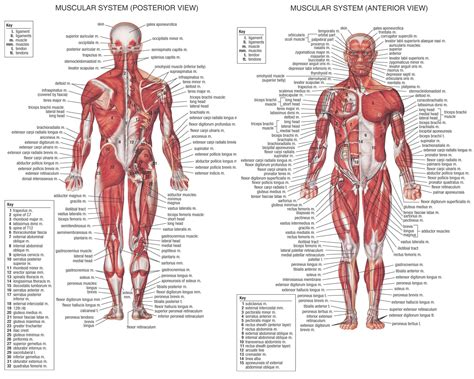 muscles of the human diagram basic human muscles human anatomy system