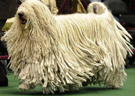 mop breed komondor learn about this cool unique breed of