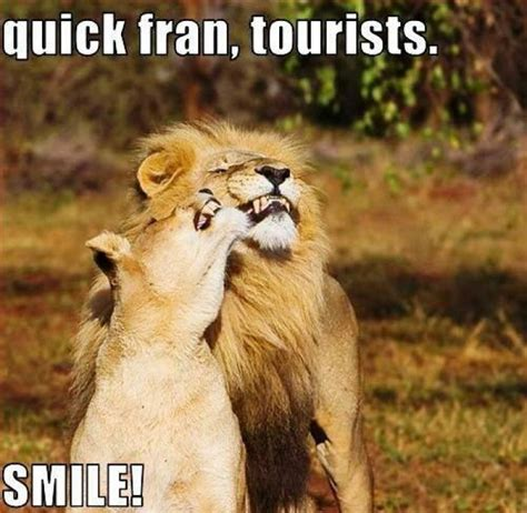 Lion Meme - quick fran tourists lion meme jokes memes pictures