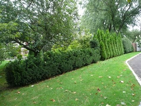 landscaping in new york with hedges around your property winged euonomous burning bush