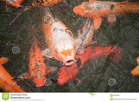 Koi Fish Quote carp quotes quotesgram