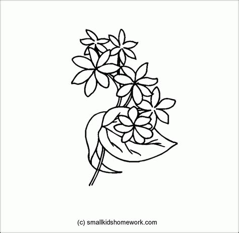 coloring pages of jasmine flower jasmine flower outline and coloring picture with
